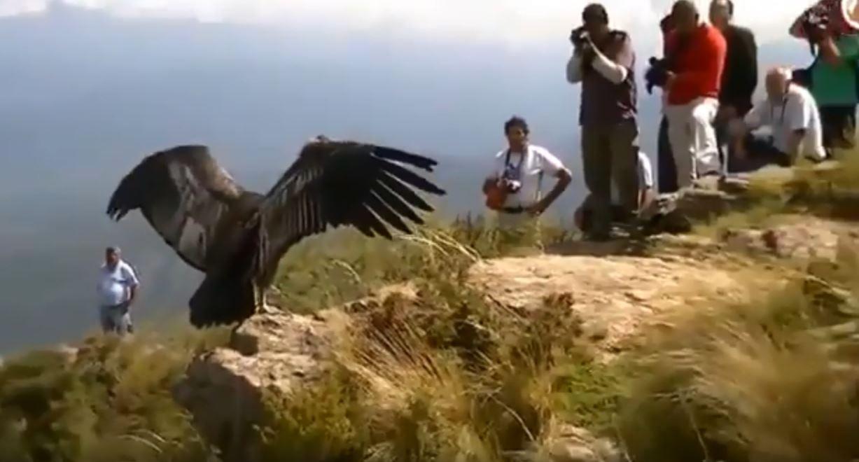 安地斯神鷹中毒「人類伸援手」 野放瞬間「大鵬展翅鞠躬」志工:這是神蹟!