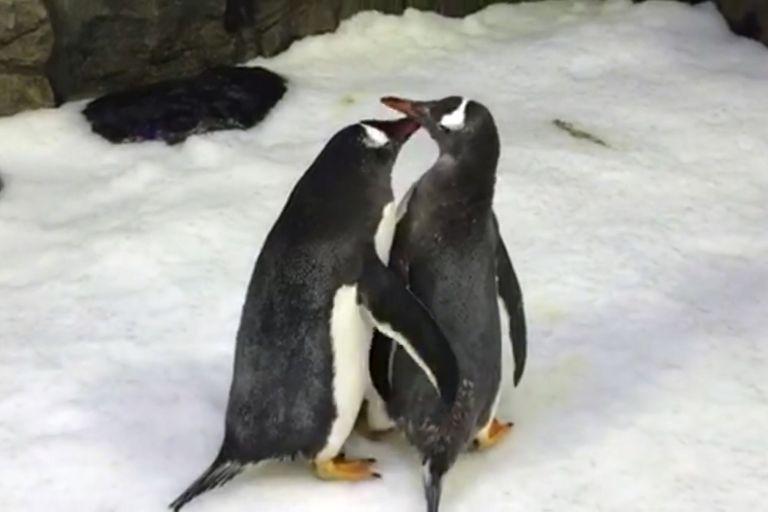 夫夫家庭一樣hen幸福❤男同志企鵝「一起努力孵出小企鵝」 體貼照顧彼此讓異性戀都有點慚愧啊!