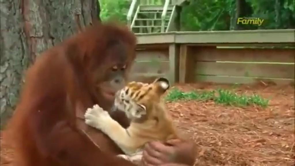 家人都沒了...紅毛猩猩「變小老虎乾媽」 溫柔抱懷裡親餵奶:不怕,還有我呢!