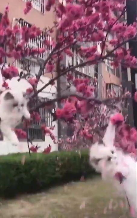 櫻花系網美喵爬樹取景 下秒腳滑「偶包粉碎」:唉唷嚇得本公主毛都掉了!