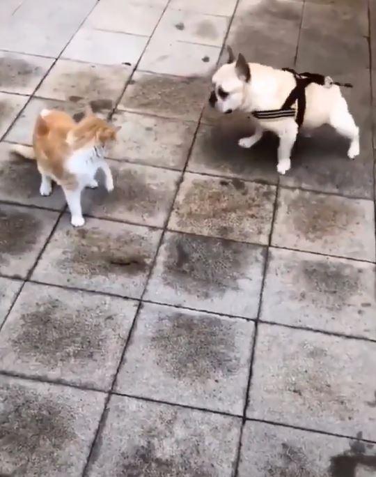 貓咪輕輕抬手...法鬥嚇瘋變身垃圾鴿「全身使勁甩」:別過來我可是風火輪!