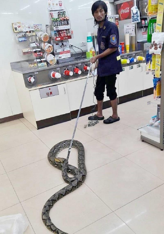 熱到蛇蛇都受不了!泰國超商驚見「2M黑色大蟒蛇」 貼冰箱求涼快:這太陽誰可以啊
