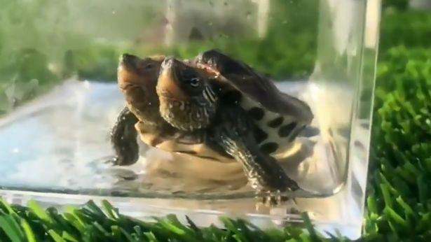 中國出現「2個頭的烏龜」連同伴都傻眼 隔保育箱看:哥兒們~你被人類害慘了...