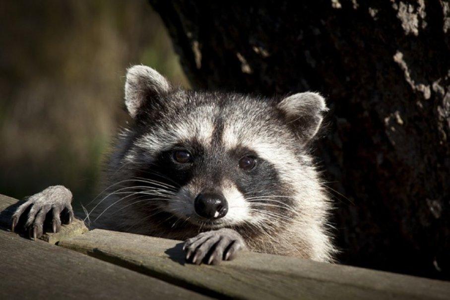 動物的「丁丁」裡是有骨頭的!「戴著浣熊的丁丁骨」竟然能招好運XD