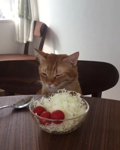 減肥真痛苦!貓咪眼前只有「生菜加番茄」 厭世到狂瞪主人:朕這樣會成仙…