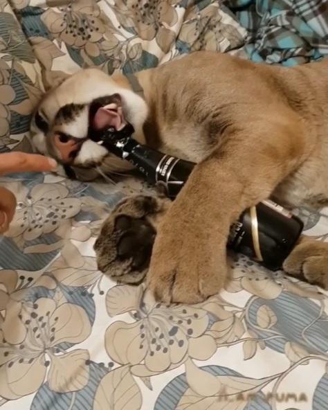 失戀無醉!小憨獅想來一杯解悶 咬半天「連瓶蓋都想跟牠過去」氣到摔瓶