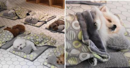 想養出乖狗狗先準備枕頭~超萌毛小孩「幼稚園午睡照」爆紅 睡覺也是訓練的一種!