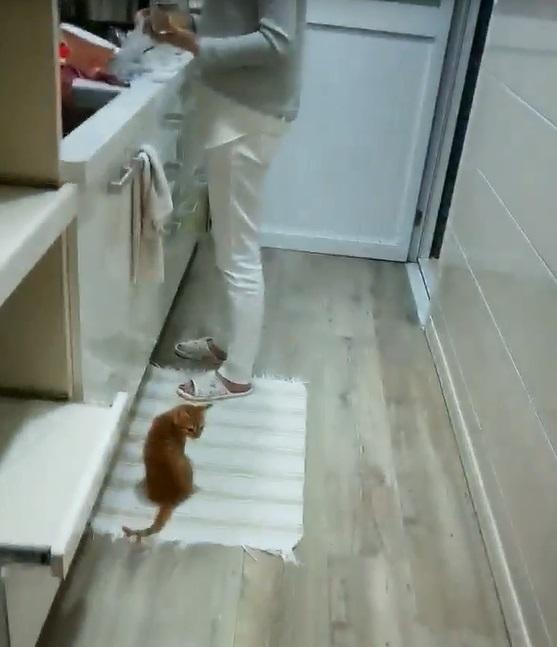 1小時前才吃飽!小吃貨又看到馬麻進廚房 橘貓叫破喉嚨:餓!肚子又扁了~