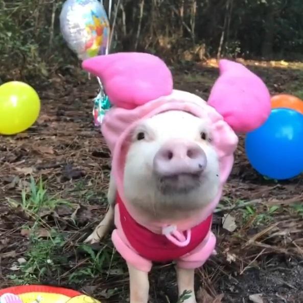 維尼的朋友們都變豬了!小豬爽辦慶生party猛嗑蛋糕:老子今天最大~