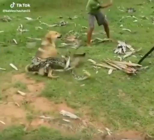 只能用前腳爬行!超粗蟒蛇纏繞家中黃狗 3男孩「徒手救援」扭開