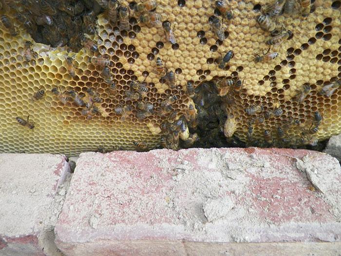 家中不停出現蜜蜂 專家將牆壁挖洞後傻眼:太大塊了啦!