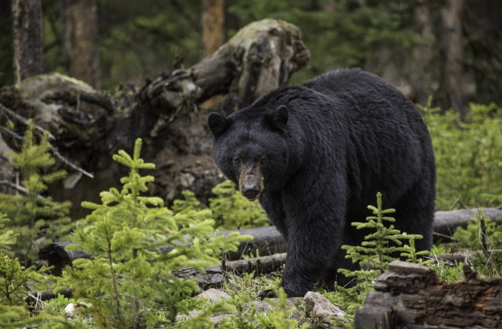 前有懸崖後有熊!採菇哥上山遇100KG黑熊狂追 做出「人生最難抉擇」只為了活下去