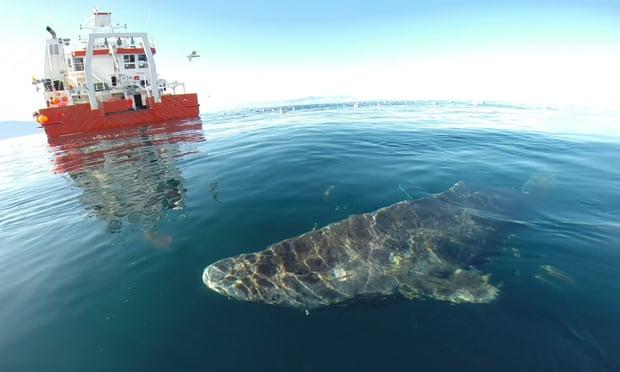 影/世界上最長壽!「400歲格陵蘭鯊」活過兩次世界大戰 巨大體型完全是移動式礁岩