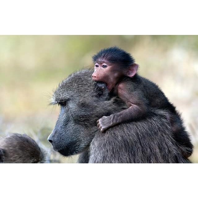 20張動物們證明「母愛不分種族」的瞬間 外人面前是猛獸、小孩面前是溫暖的超人❤