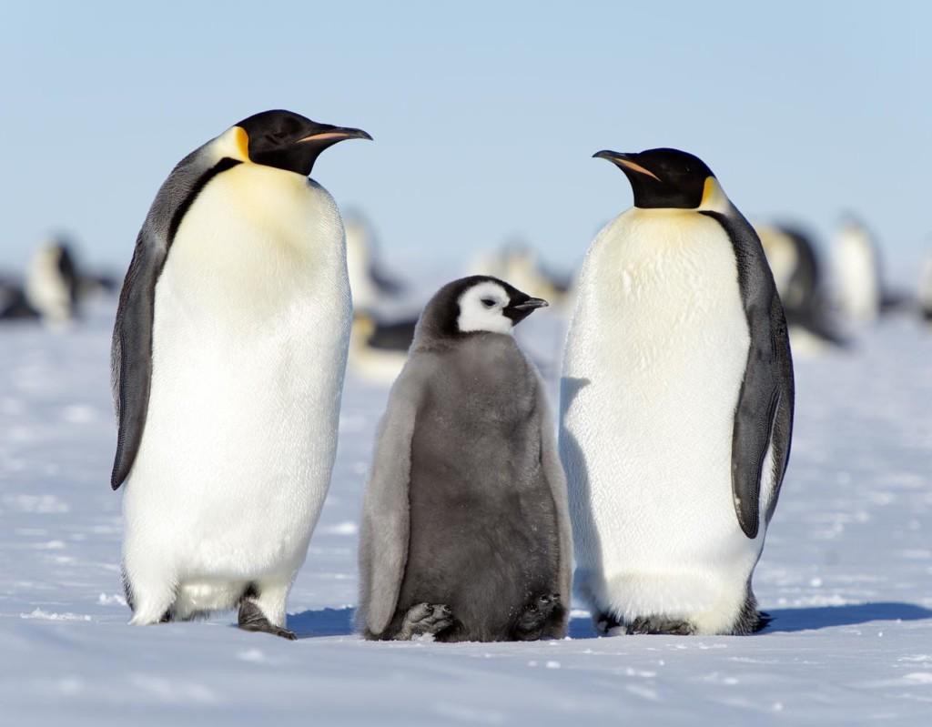 企鵝媽媽待產中...門口驚見一排「癡情老爸鵝」緊張探頭:老婆大人加油啊~