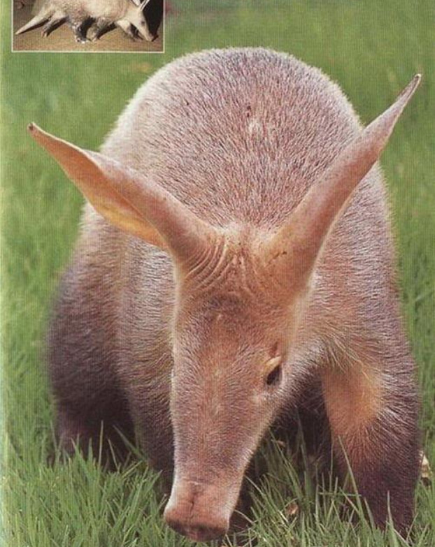 比蟑螂還強!從恐龍時期活到現在 土豚靠「61公分長舌頭」討生活:一天吃3萬隻白蟻❤