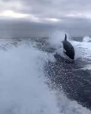 威鯨片/出海捕魚遇「3殺人鯨」跳躍式追趕 漁民尖叫:FXXX!這什麼賞鯨團T T