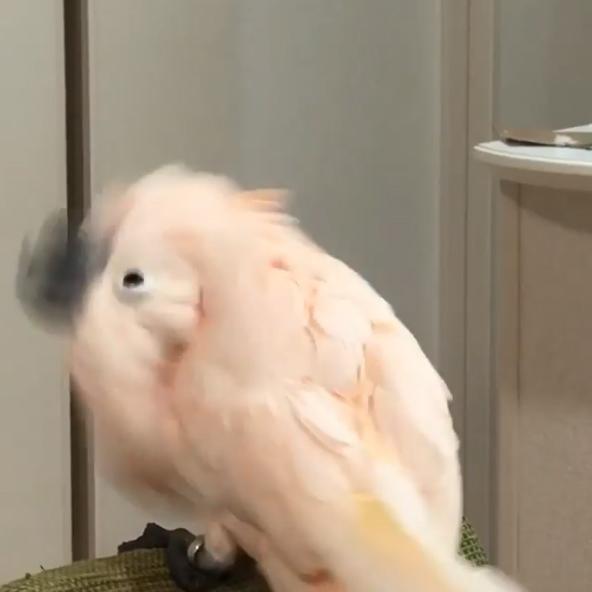 鸚鵡一聽音樂「360度大甩頭」 重金屬搖滾魂全開:跟我一起嗨~