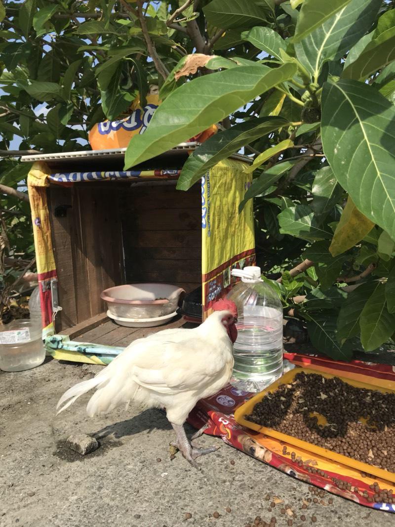 路邊遇到流浪雞!她好心撿回家養卻被老爸罵臭頭:這跟紅包一樣,不能亂撿啊…