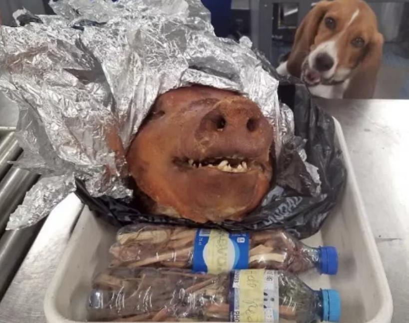 偵查犬聞出行李箱裡的「烤乳豬」:你是盡責還是想吃!