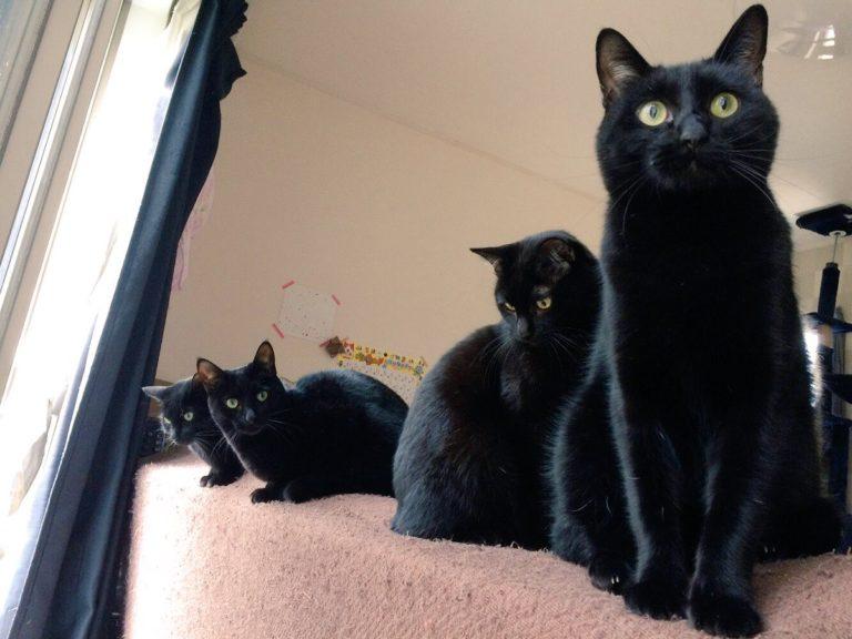 影分身!奴才分享「5隻黑貓」日常生活照 靠在一起時根本變成了另一種生物啊♥
