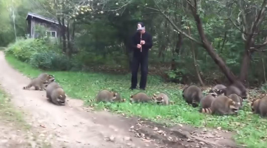 魔笛浣熊版!吹直笛引出「圓滾滾家族」 草叢排排坐聽音樂超乖巧