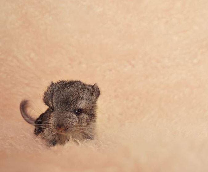 17張想立刻捧起來親的「真實版小龍貓日常」 軟萌鼠寶寶還會站起來喝ㄋㄟㄋㄟ~