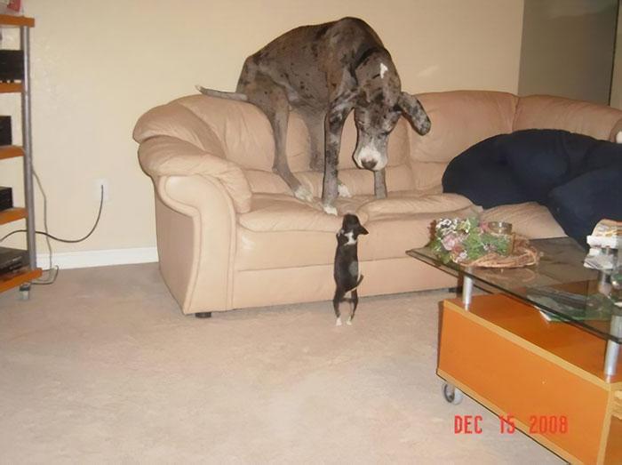 世界最巨大狗狗!簡直像「被噴了巨大光束」  才4個月手就已經比你大N倍了~