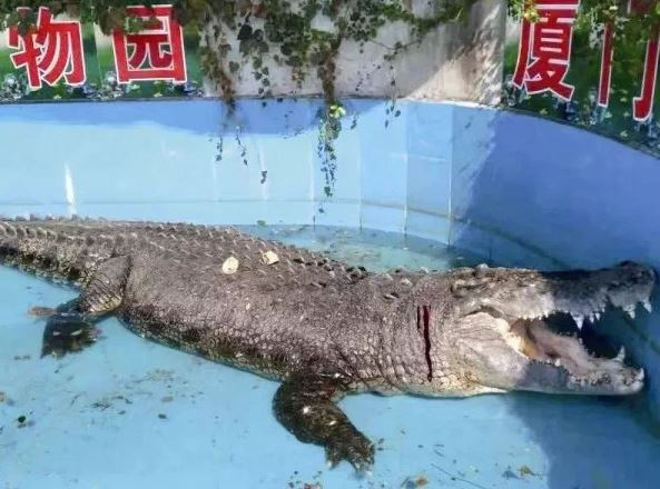 台南鱷魚王才剛移居廈門... 遊客丟石子+嬉笑拍照:只是想確定是不是真的