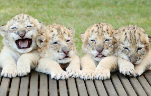 夢境級「高顏值雪白獅虎」從奇幻仙境走出 超狂成長速度讓保育員難招架