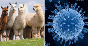 流感疫苗有雜質?超狂新抗體出現 專家:草泥馬的血液簡直無敵!