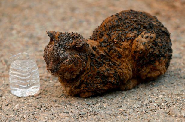 加州大火燒7天...「上千隻動物」火紅中逃竄 嬌小身軀已焦黑卻拼命想呼吸