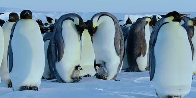 BBC堅持「不干涉自然原則」 無毛小企鵝受困發抖沒人伸援手...民眾電視前罵翻!