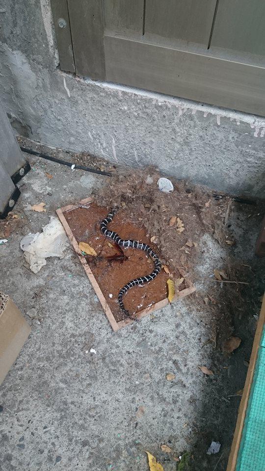 黏鼠板沒黏到米奇卻抓到「黑白蛇大人」 狂扭動掙扎網警告:碰了直接晚7天回家!