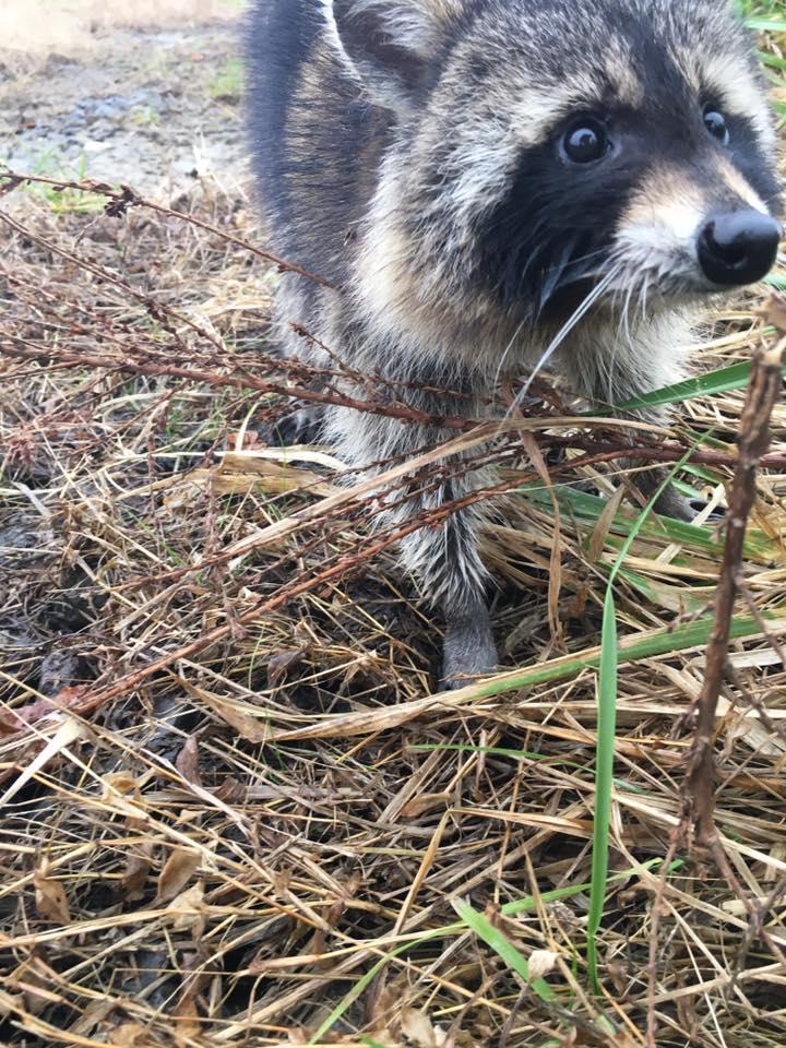 大批浣熊吃到「詭異果實」路邊集體發ㄎㄧㄤ 路人經過傻眼:浣.屍路出現?