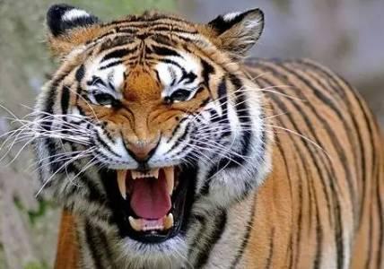 大老虎緩緩游近肥美的晚餐 「忍鴨水遁術」讓牠瞬間傻眼大貓咪:哇勒去哪了?