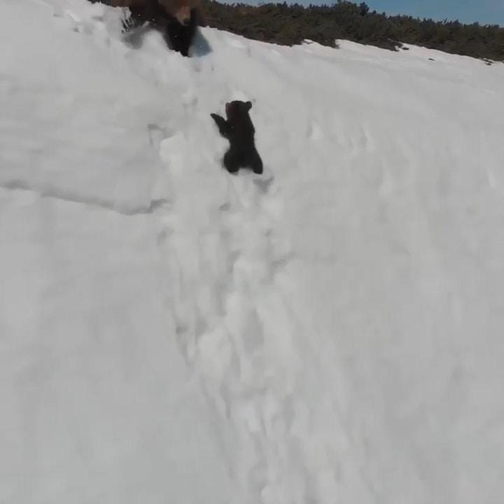 暴怒片/熊母子爬雪山勵志短片網友瘋傳 專家看了卻直搖頭:人類真的很自私...