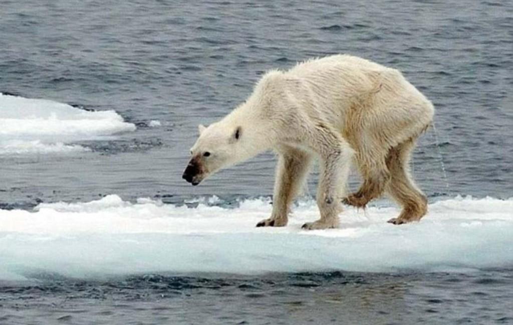 北極熊真的快絕種?研究報告驚呆世人:牠們已經數量過多「當地民眾都瘋狂打獵了」