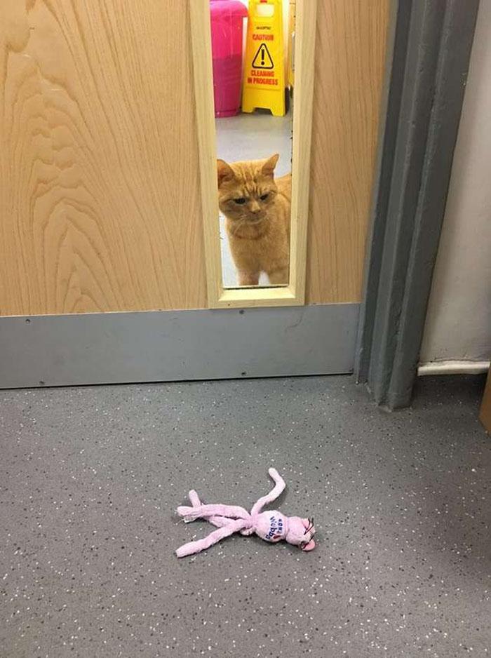 皺眉橘貓天天「結屎面瞪人」 獸醫一摸差點哭出來:牠其實很痛