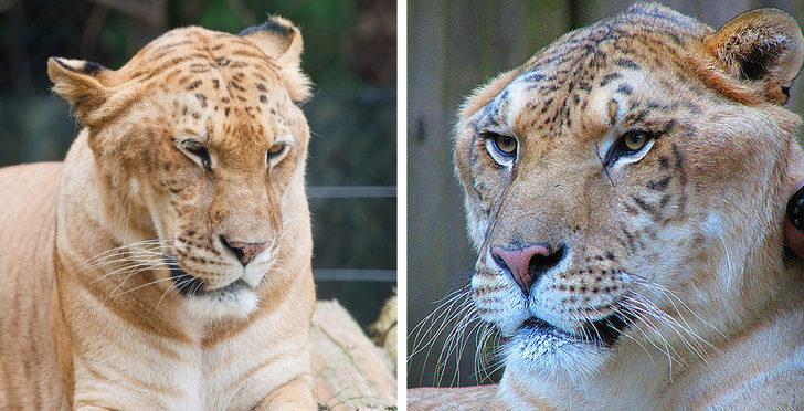 13種被老天爺玩弄基因的「夢幻混種動物」 白馬+斑馬的混合體根本像神獸!