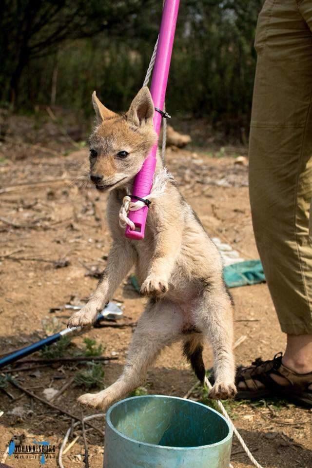 突然聽到怪聲 往下看「4隻迷你野獸」泛淚求救!專家:牠們的媽媽就在附近...
