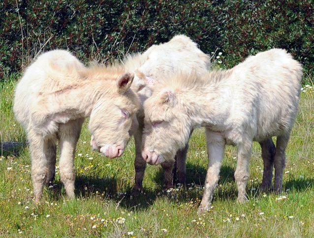 白化斑馬根本是神獸!22張「不小心從神話裡走出來」的夢幻白化動物