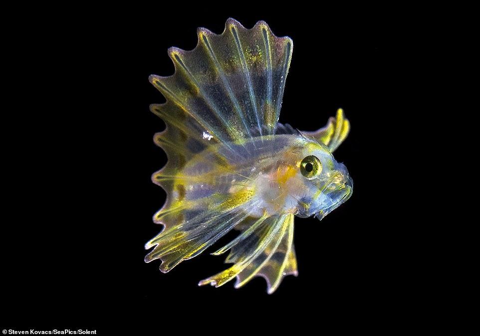 獅子魚媽媽長的超噩夢 他花超久時間找到「獅子魚寶寶」開傘瞬間以為進入二次元世界!