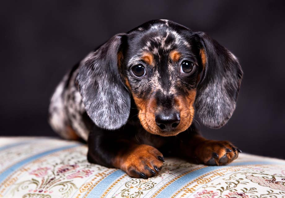 還以為金金很溫和?10種靈魂裡「藏有無敵破壞王基因」的調皮狗狗♥