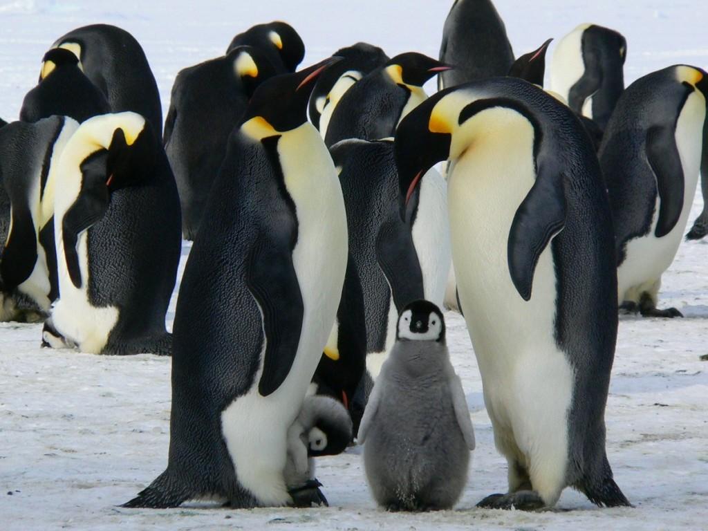 企鵝寶寶生命在倒數!攝影師「職業道德vs良心」變人生最難的選擇題:真的該插手嗎?