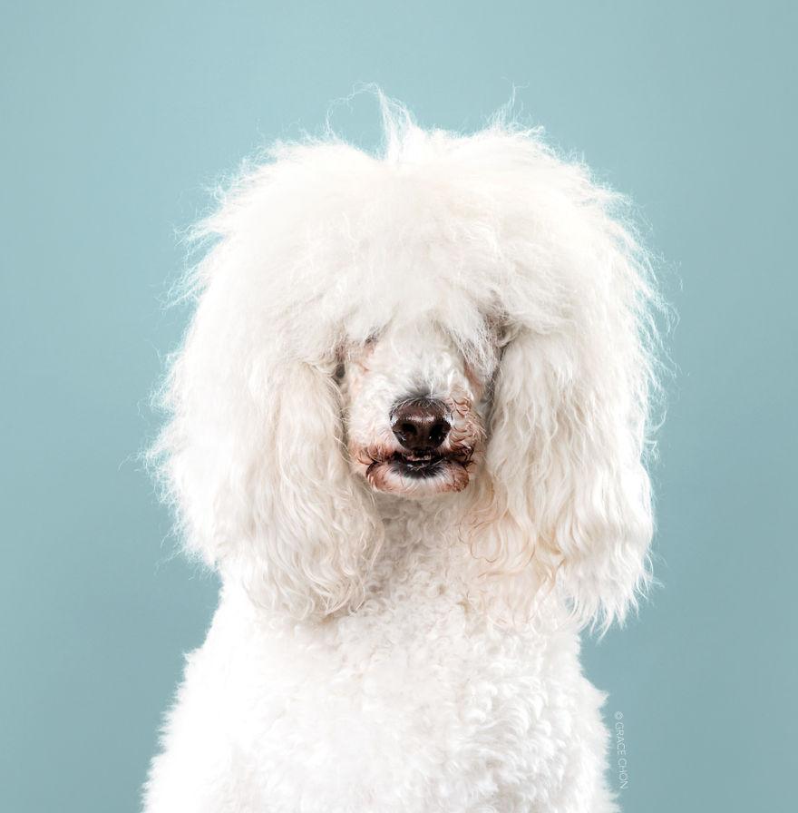 7隻從「邋遢慵懶風→高貴洋娃娃」狗狗對比照 證明寵物美容師都會魔法啊❤