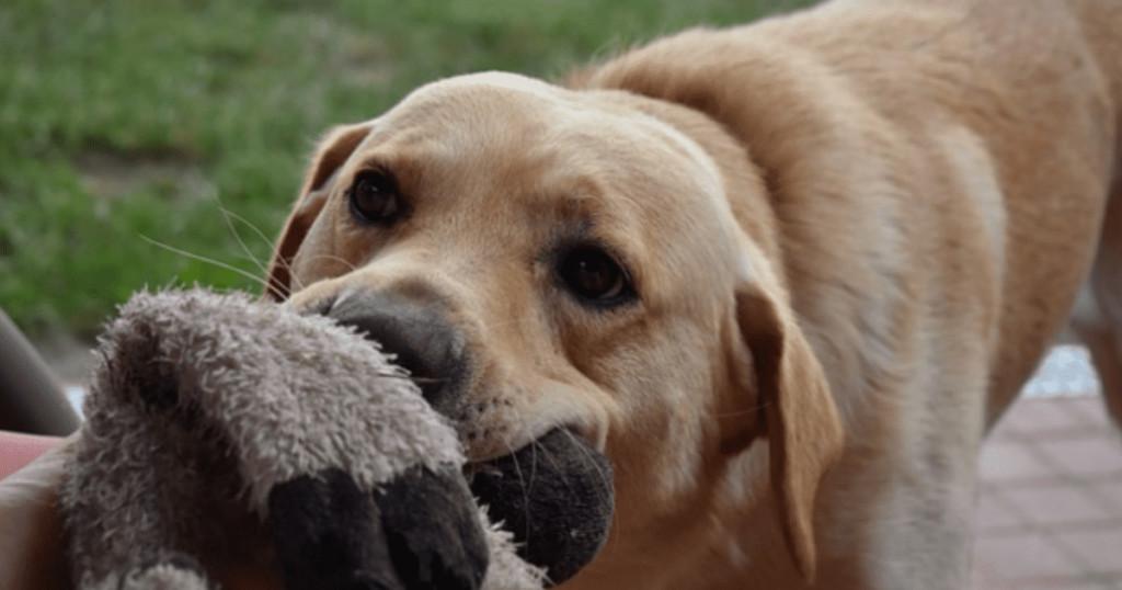 只罵牠根本沒用!5個「狗狗破壞東西」的心理關鍵 稱讚太多反而可能更失控