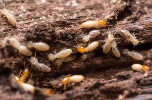 比埃及金字塔還狂!世界最大白蟻窩「蓋了3800年」 2億蟻丘面積跟英國一樣大!