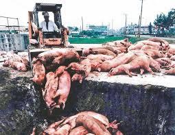 中國藏不住了!豬瘟慘況影片曝光「悲傷怨靈堆到路邊滿出來」 官員站一旁假笑:沒事~放心吃!