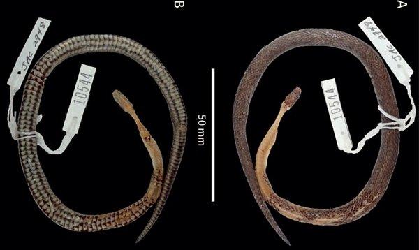 新物種蛇蛇被發現 專家從「珊瑚蛇口中」驚見另一張陌生的臉...蛇中蛇震驚生物界!